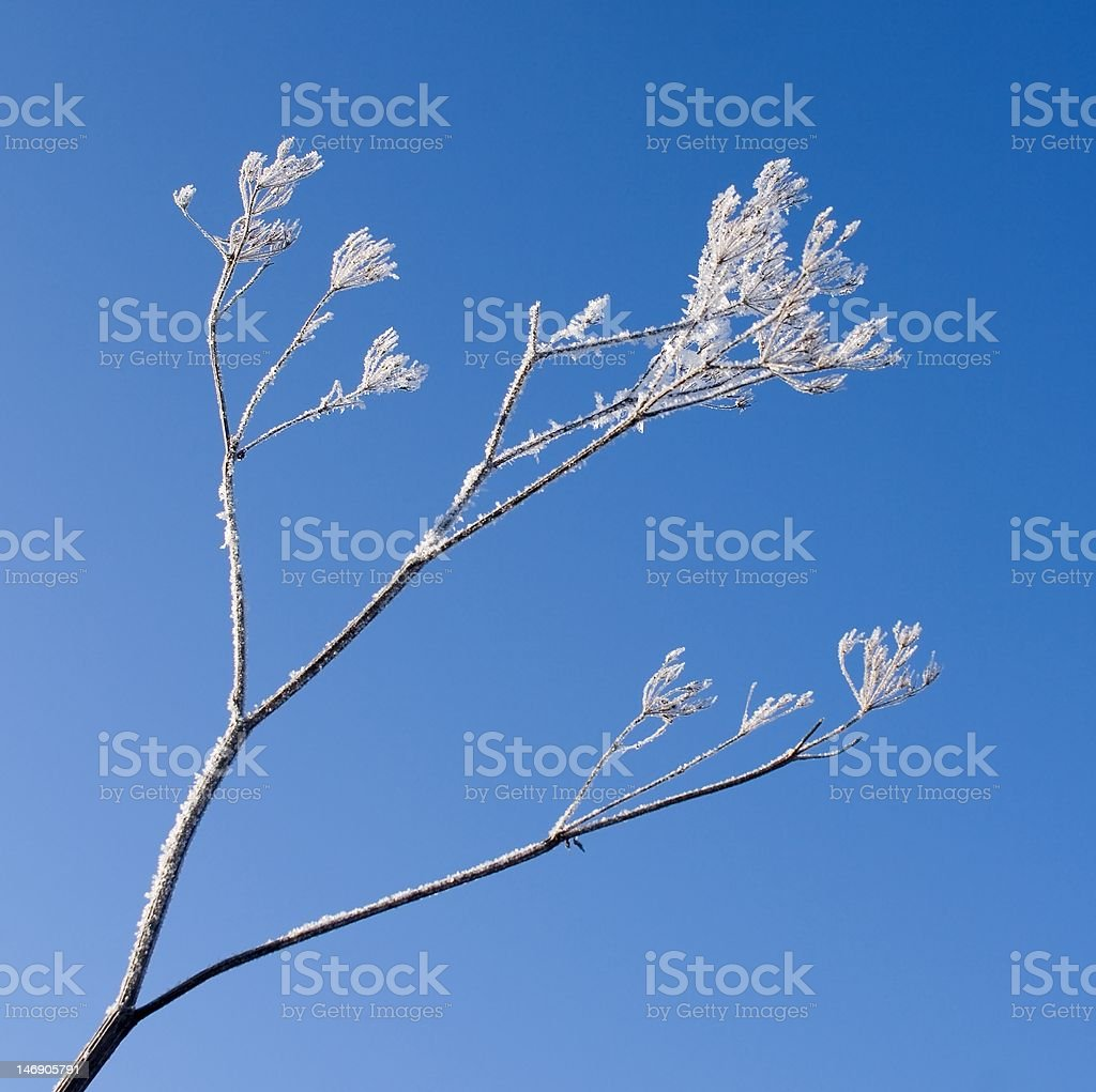Hoarfrosted bough stock photo