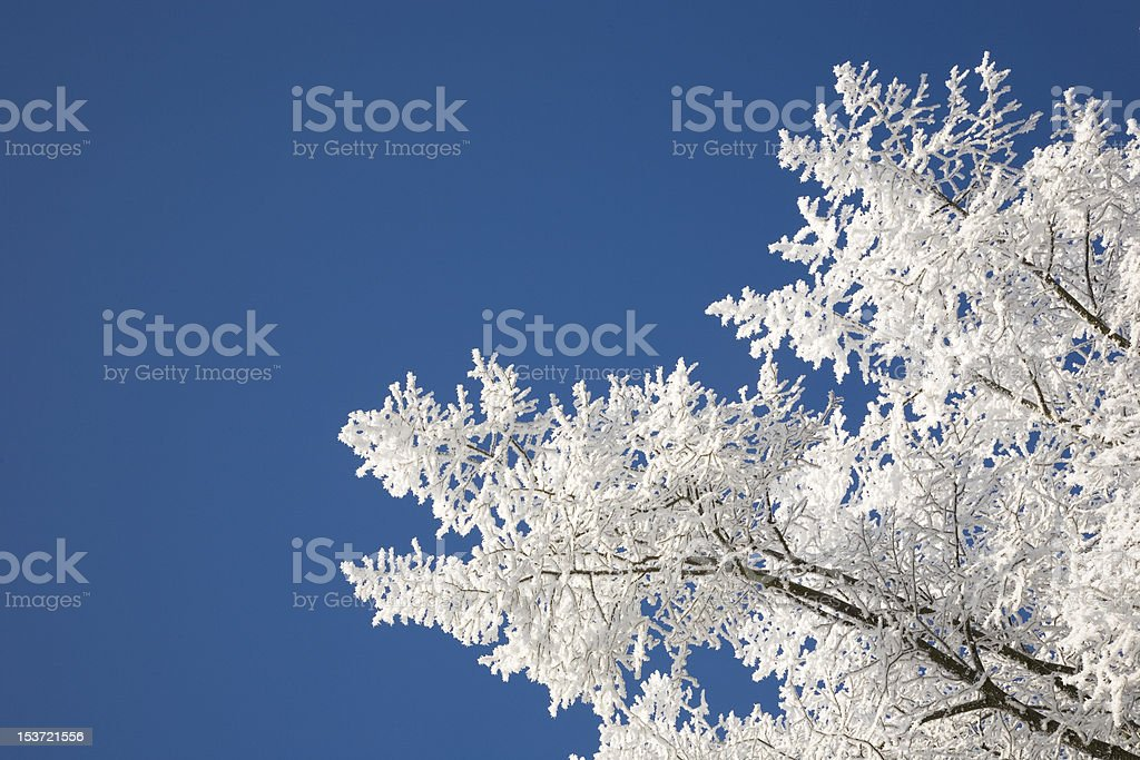 hoarfrosted branches in winter stock photo