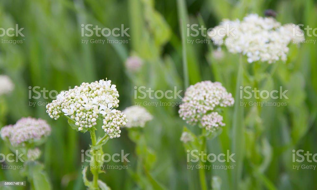 Hoary Cress (Lepidium draba) stock photo