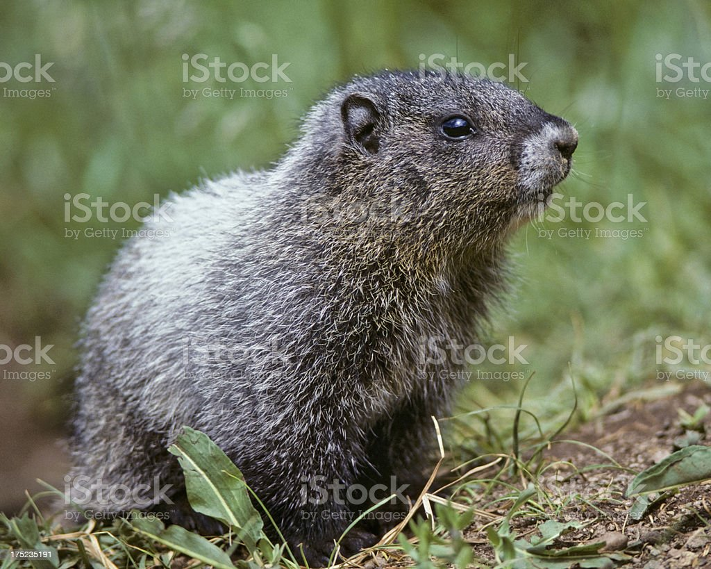 Hoary Marmot Climbing Out of its Burrow royalty-free stock photo