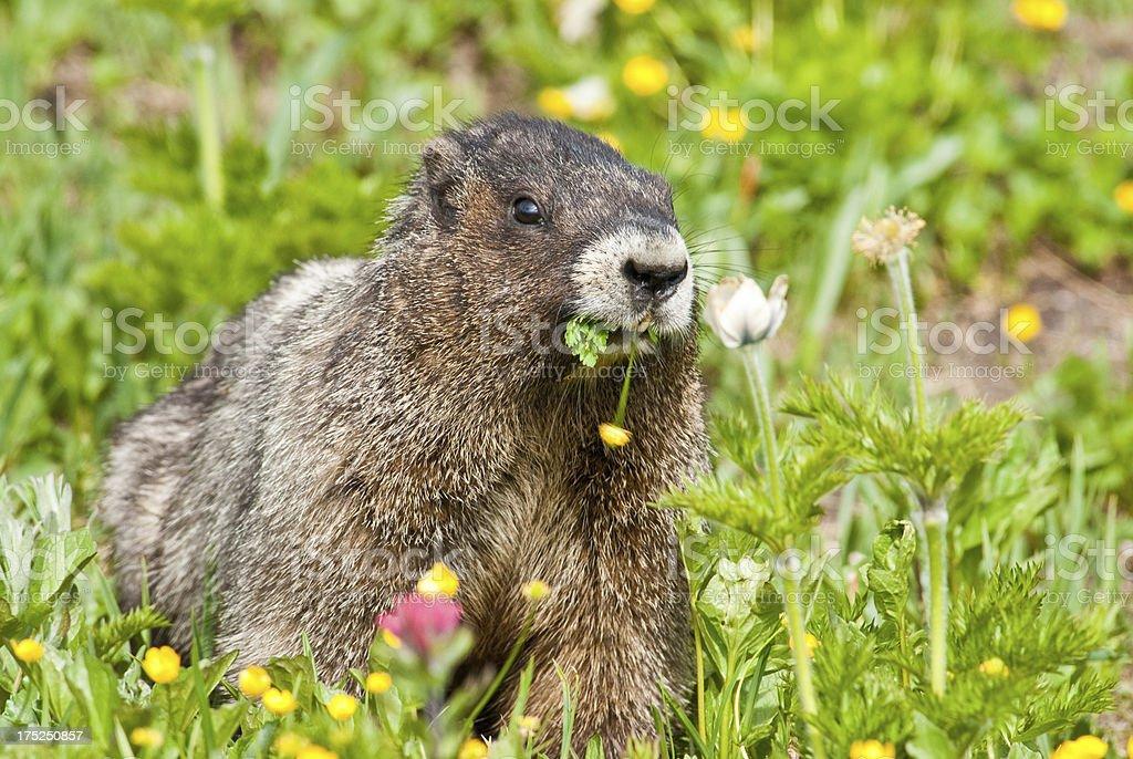 Hoary Marmot Feeding on Wildflowers royalty-free stock photo
