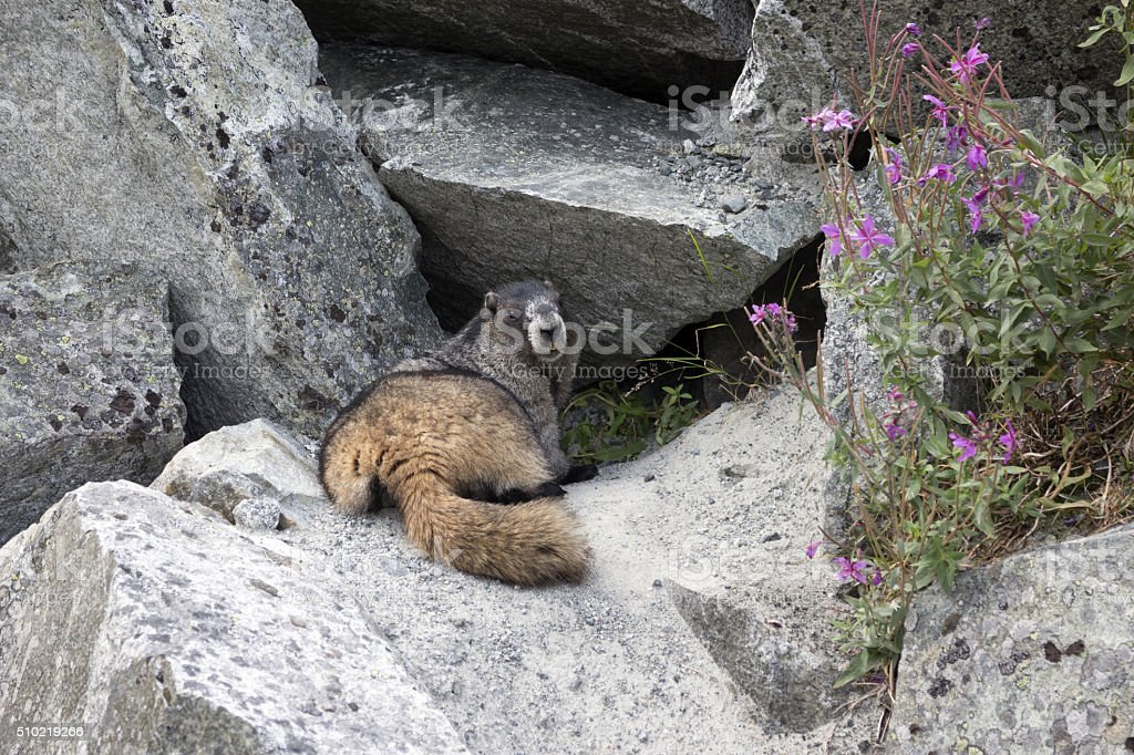 Hoary Marmot in front of its den stock photo