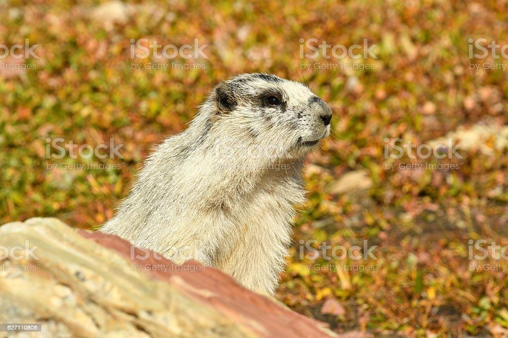Hoary Marmot stock photo