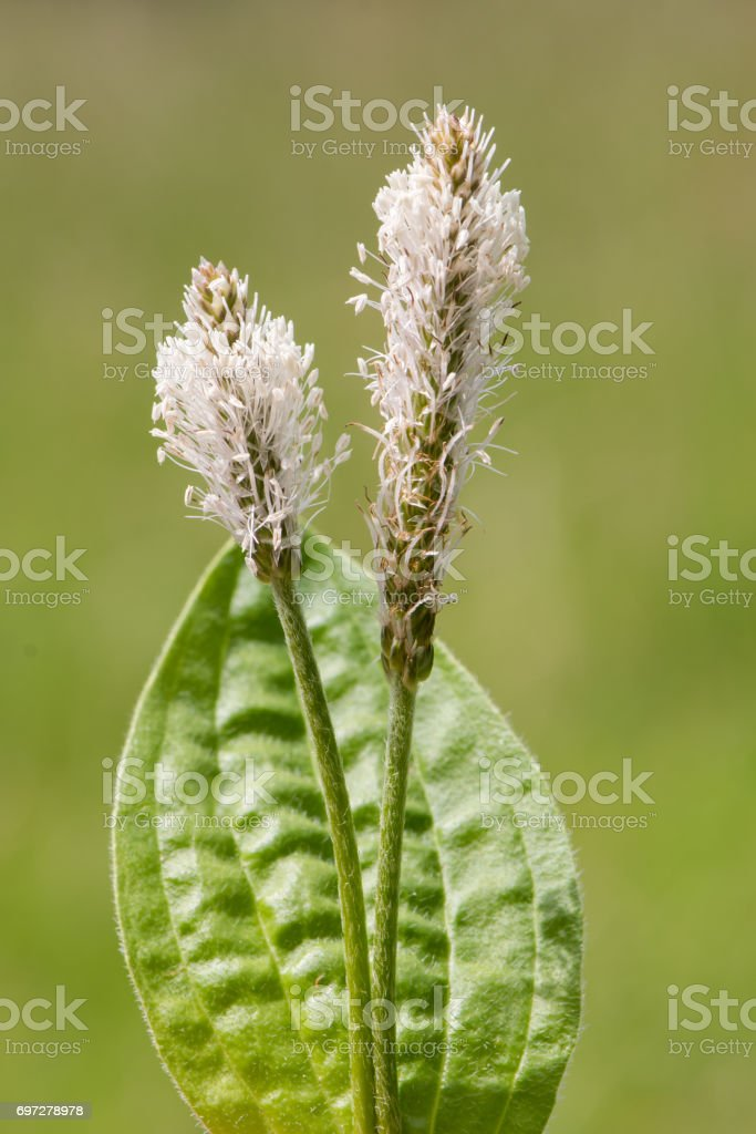 Hoary plantain (Plantago media) flower stems and leaf stock photo
