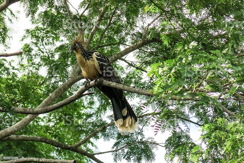 Hoatzin Bird stock photo