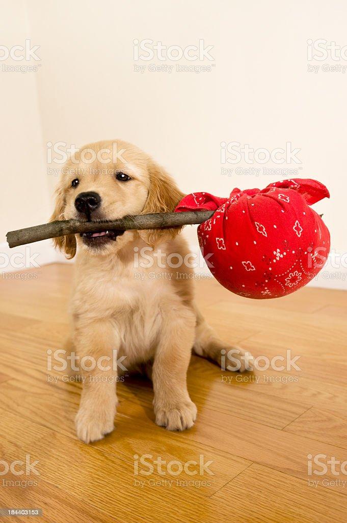 Hobo Puppy stock photo