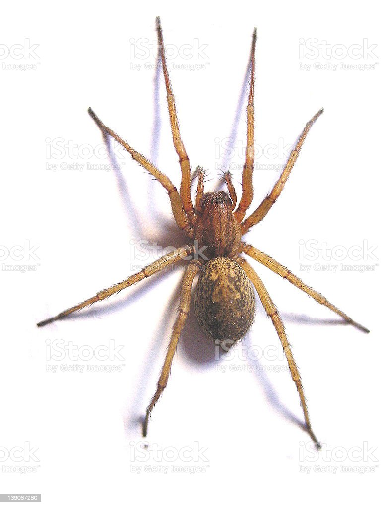 Hobo Spider royalty-free stock photo