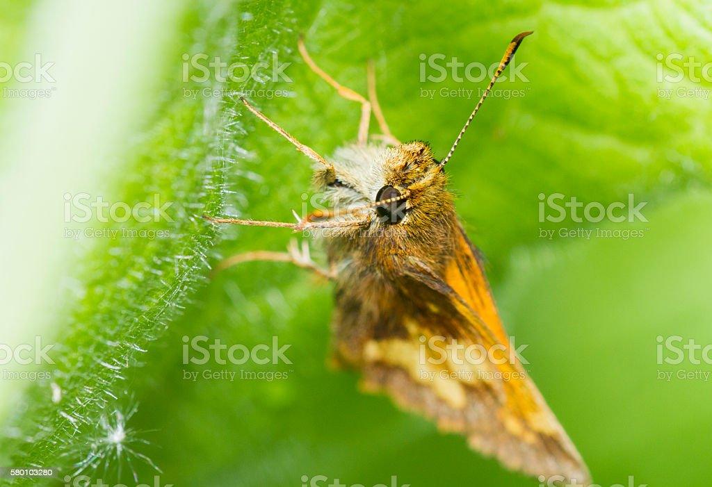 Hobomok Skipper butterfly stock photo