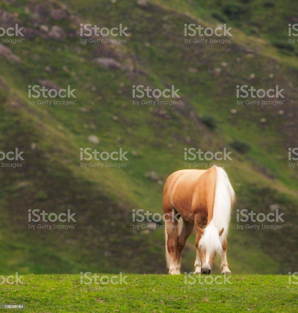 Hochfilzer horse royalty-free stock photo