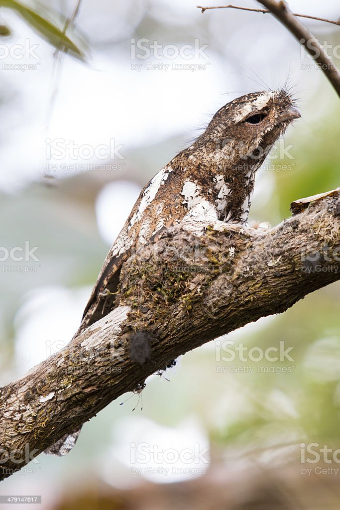 Hodgson's Frogmouth Bird stock photo
