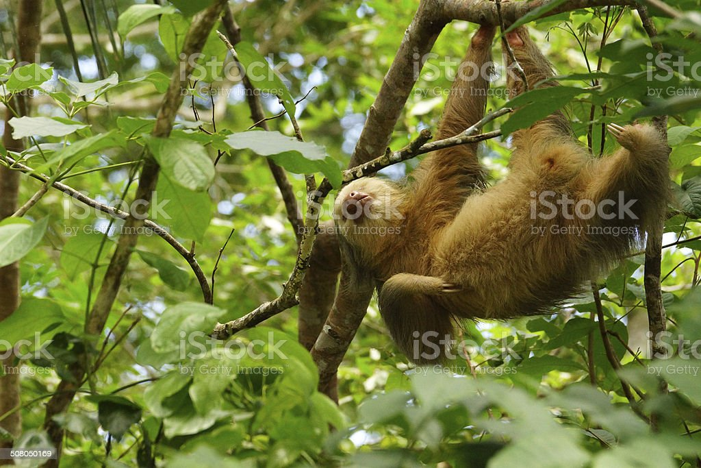 Hoffmann's two-toed sloth stock photo