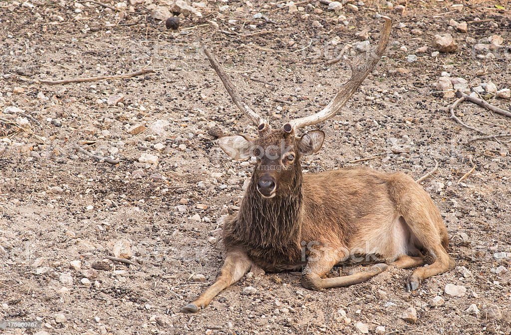 Hog deer in landscape. royalty-free stock photo