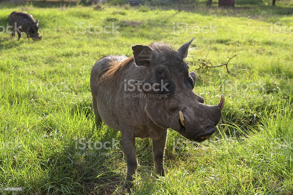 Hog stock photo