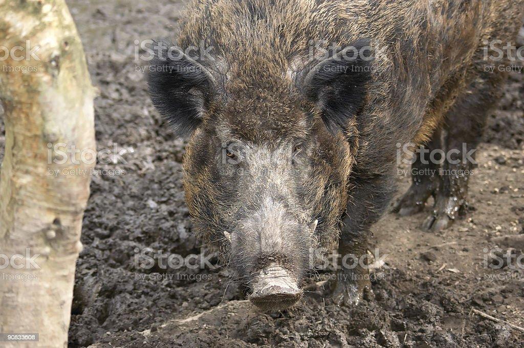 Hog royalty-free stock photo