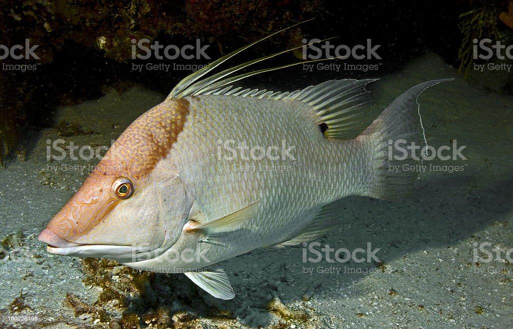 Hogfish royalty-free stock photo