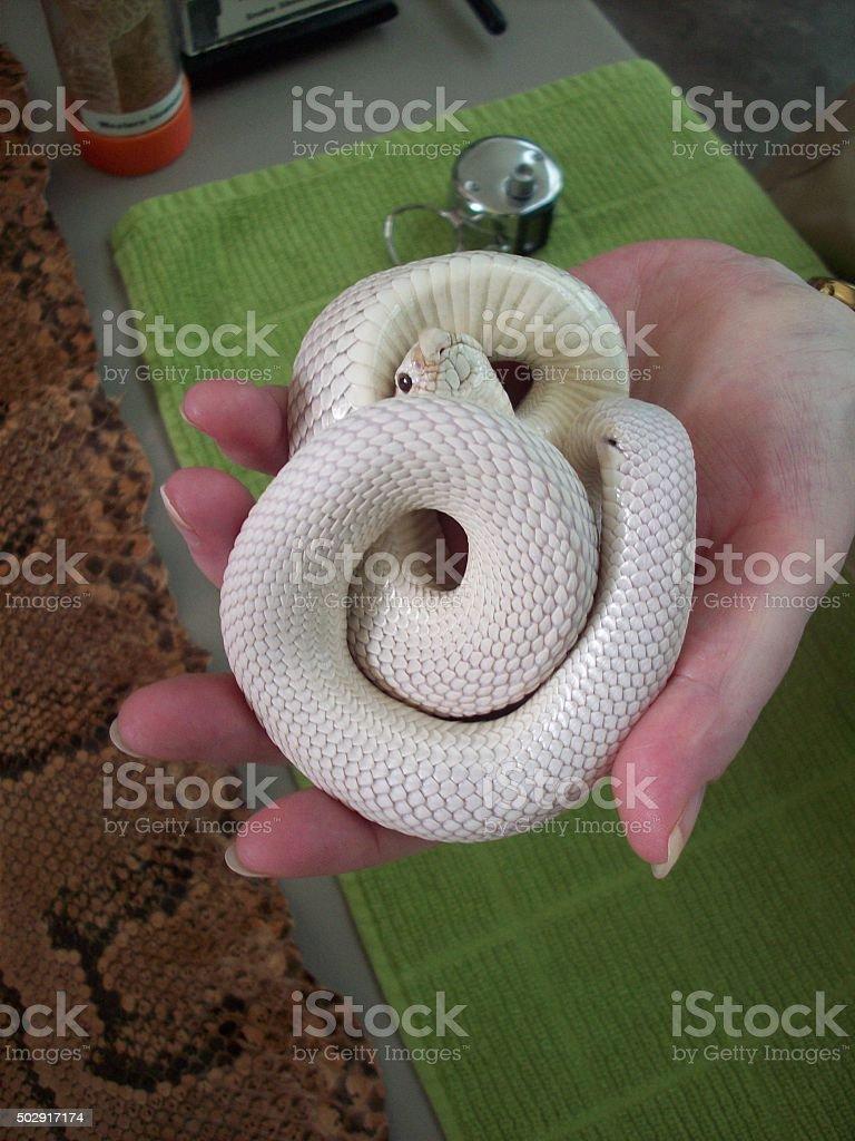 Hognose Snake stock photo