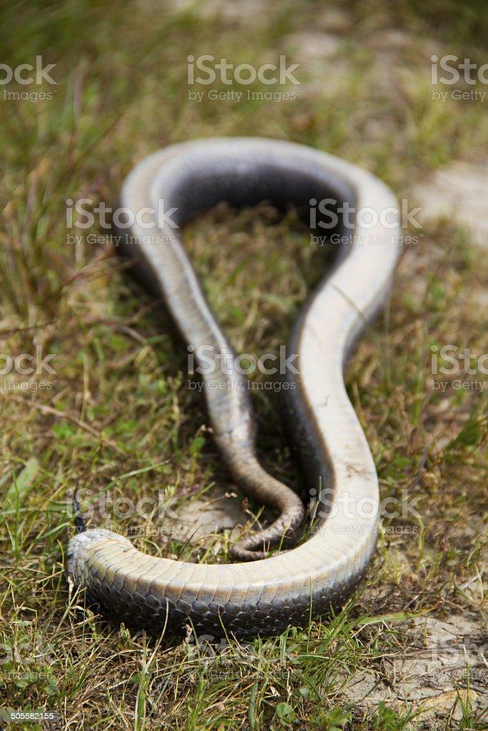 Hognose snake playing dead stock photo