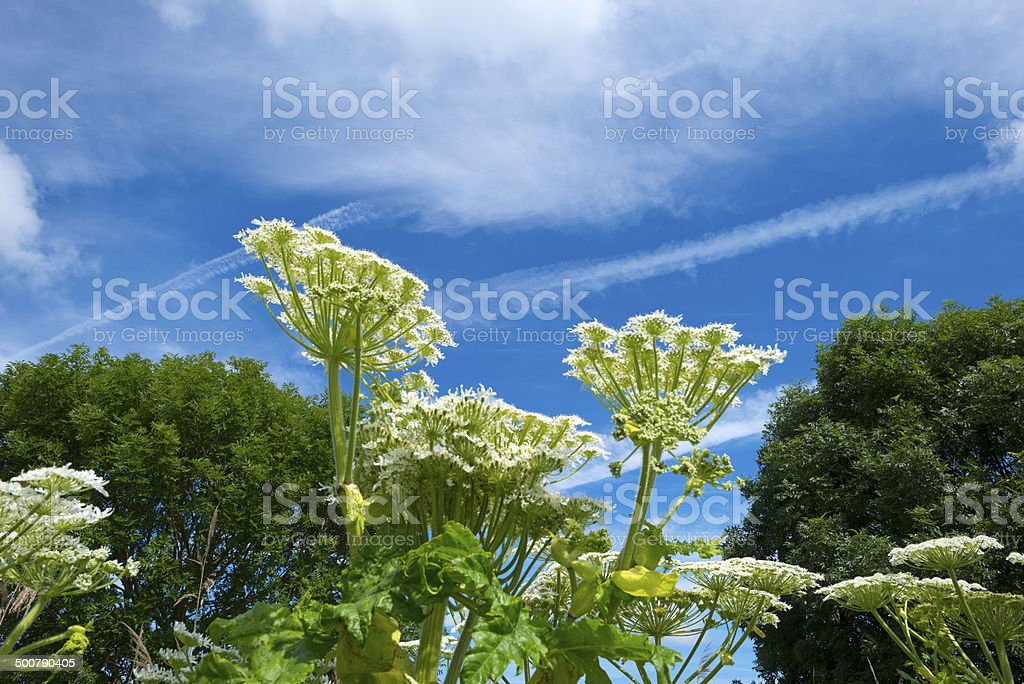 Hogweed growing in nature in spring stock photo
