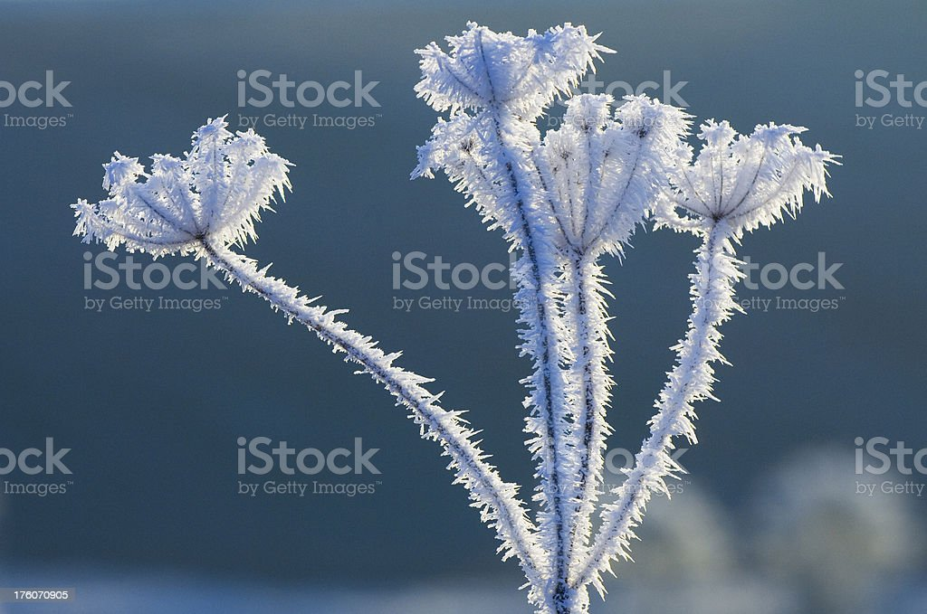Hogweed in heavy frost royalty-free stock photo