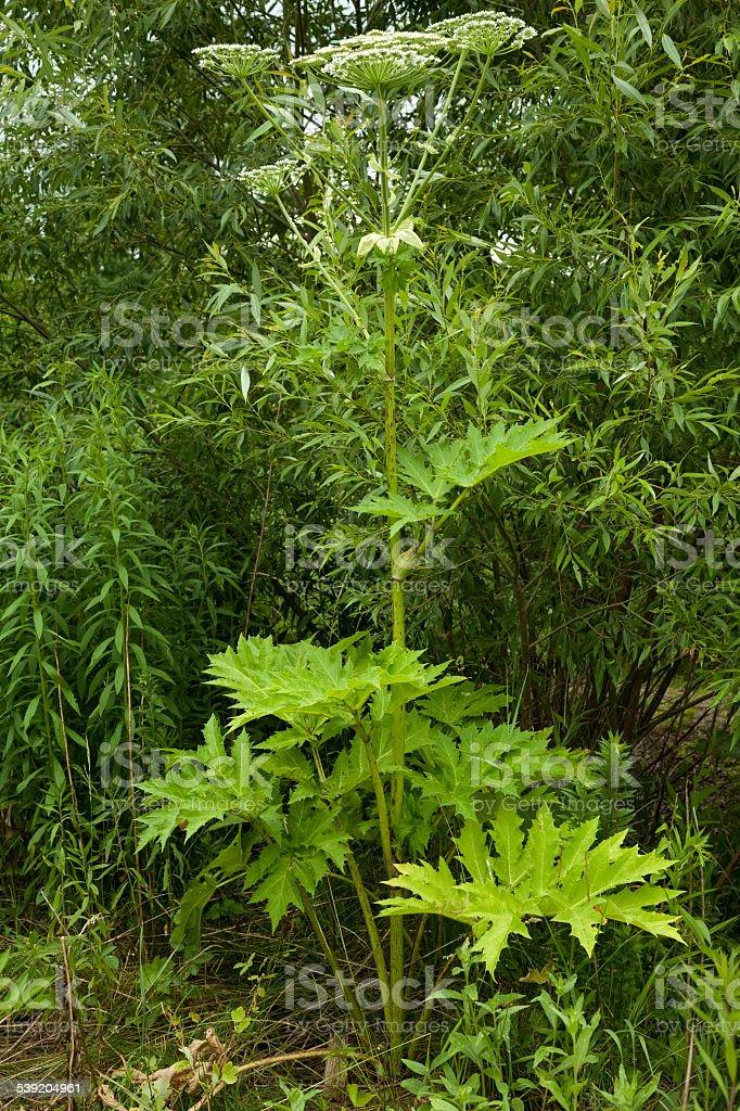 Hogweed(Heracleum) stock photo