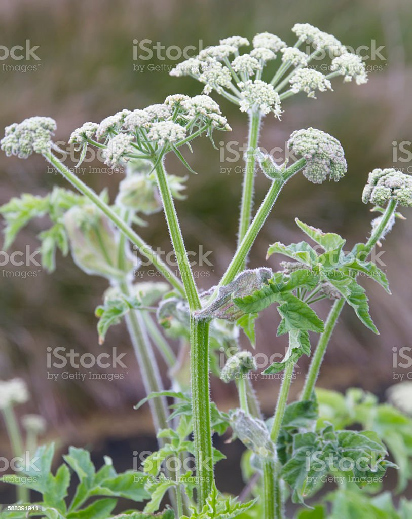 Hogweed (Heracleum sphondylium) stock photo