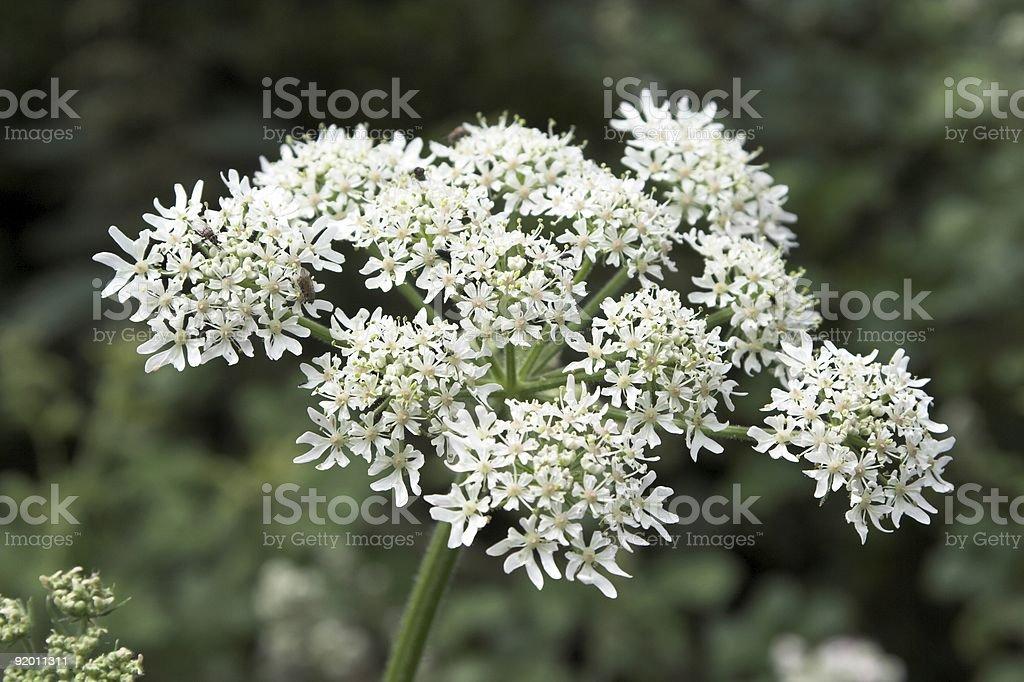 Hogweed stock photo