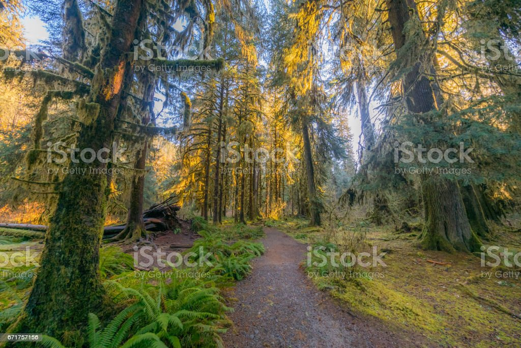 Hoh Rain Forest in Olympic Peninsula with sun shining through the trees. stock photo