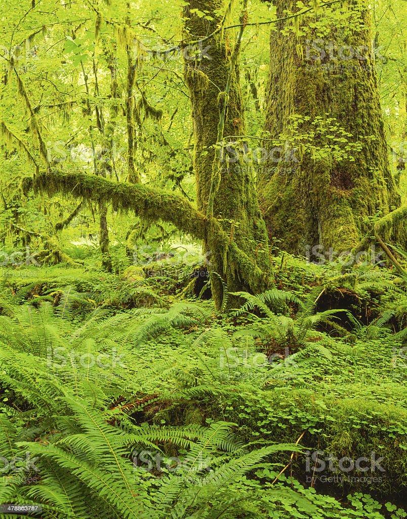 Hoh Rainforest Washington royalty-free stock photo