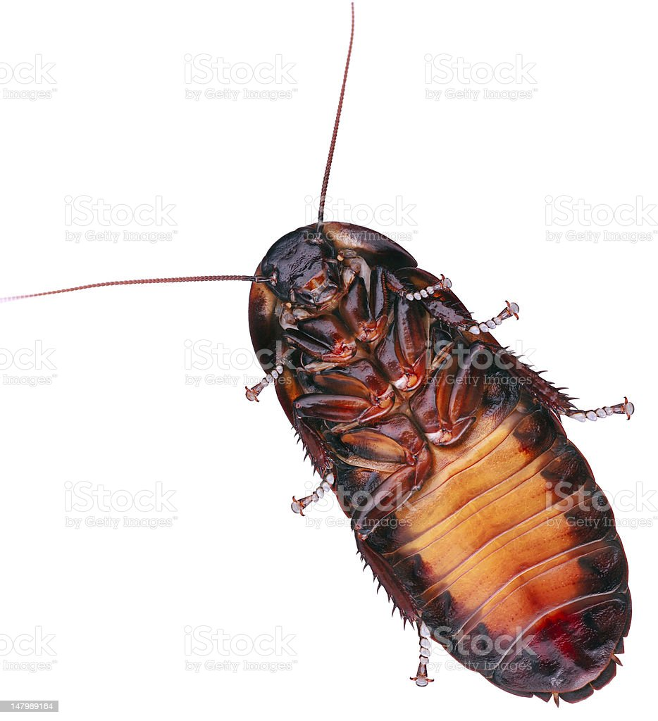 Hisser royalty-free stock photo