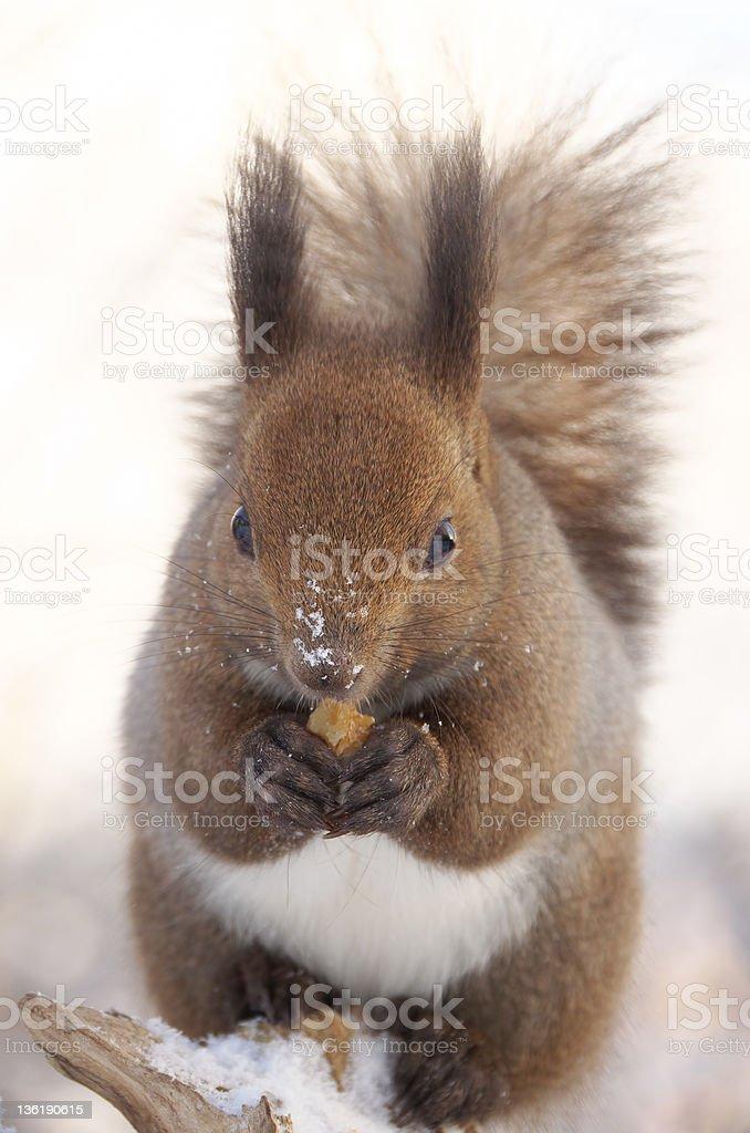 Hokkaido Squirrel eating a walnut royalty-free stock photo