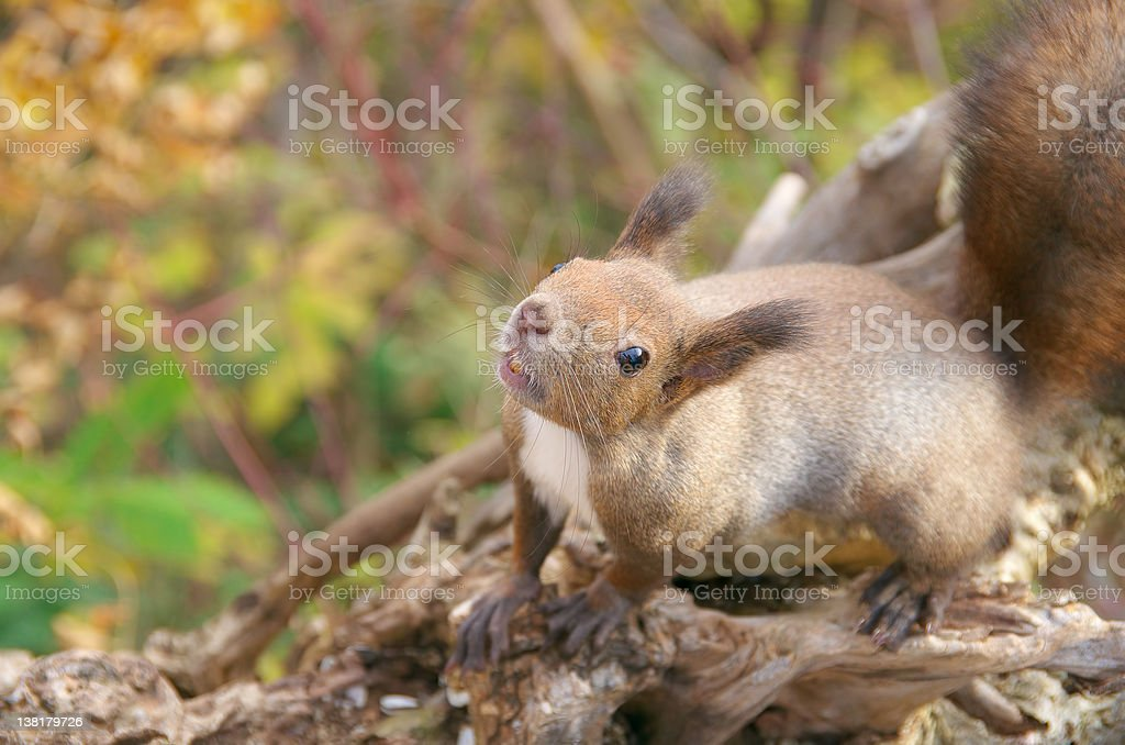 Hokkaido Squirrel royalty-free stock photo
