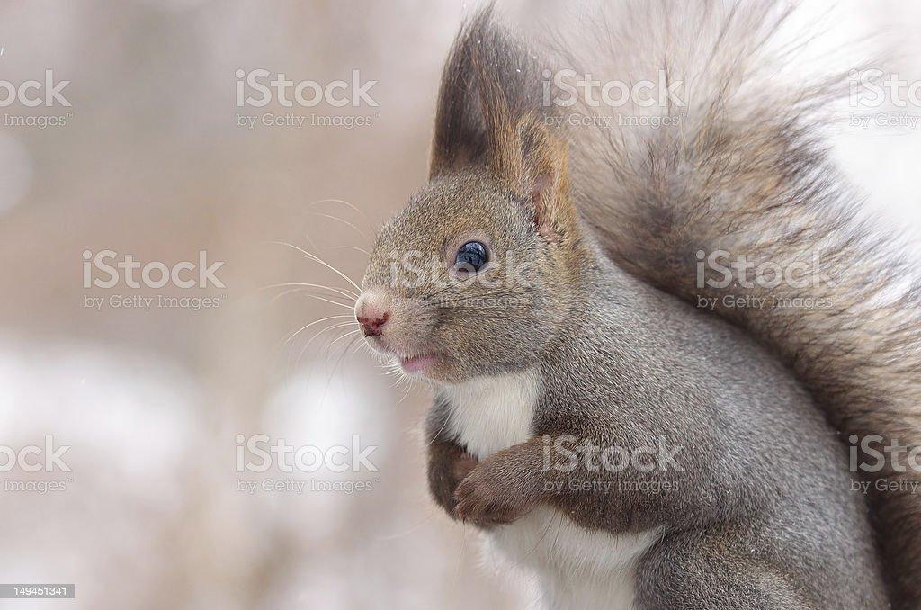 Hokkaido Squirrel royalty-free stock photo