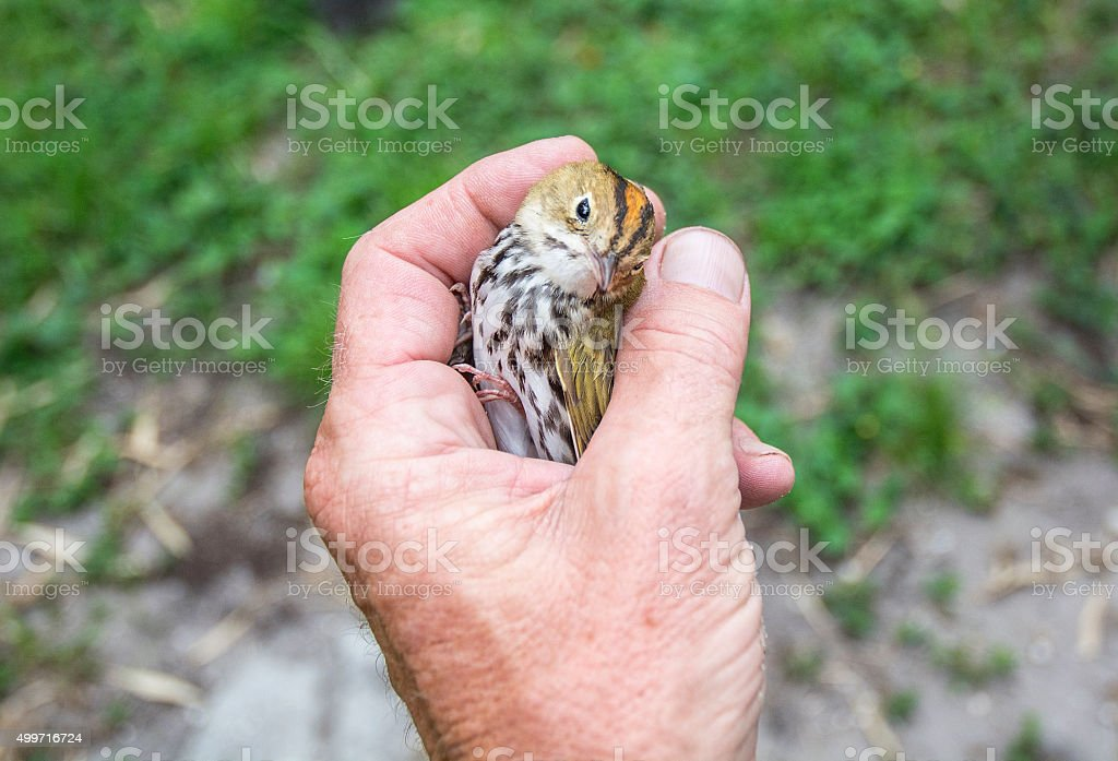 Holding A baby Bird In My Hand stock photo