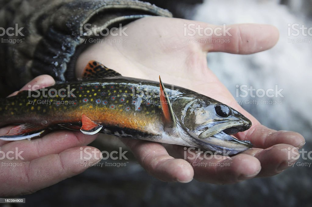 Holding a beautiful brook trout stock photo
