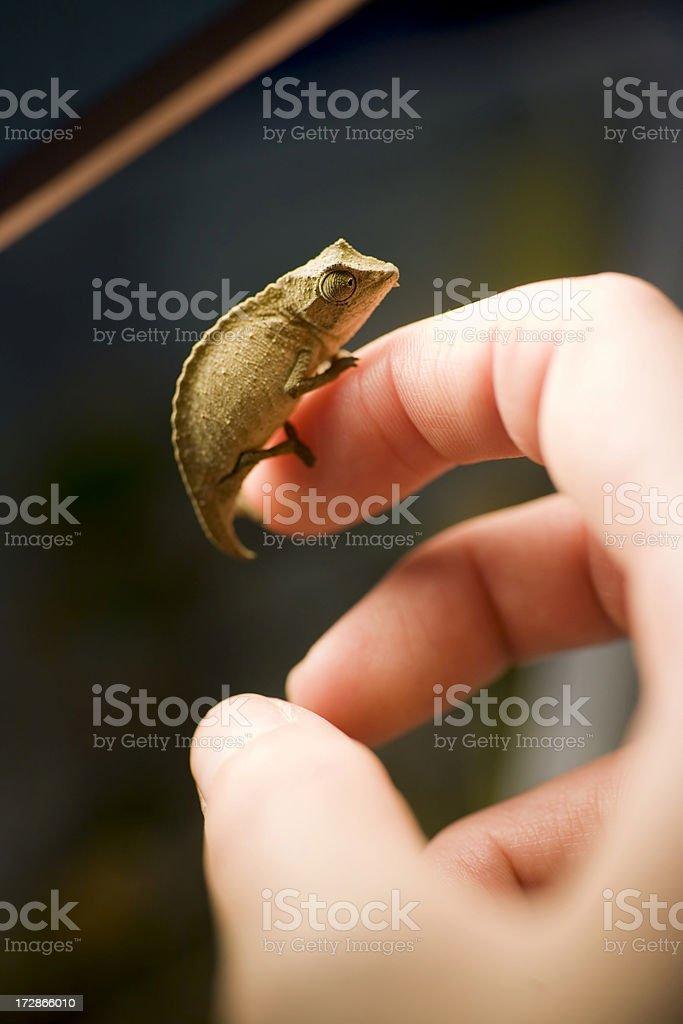 holding a Chameleon stock photo