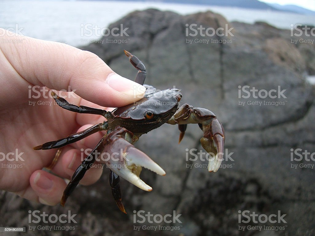 Holding a Crab stock photo