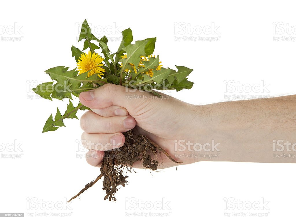 Holding a Dandelion by the Roots stock photo