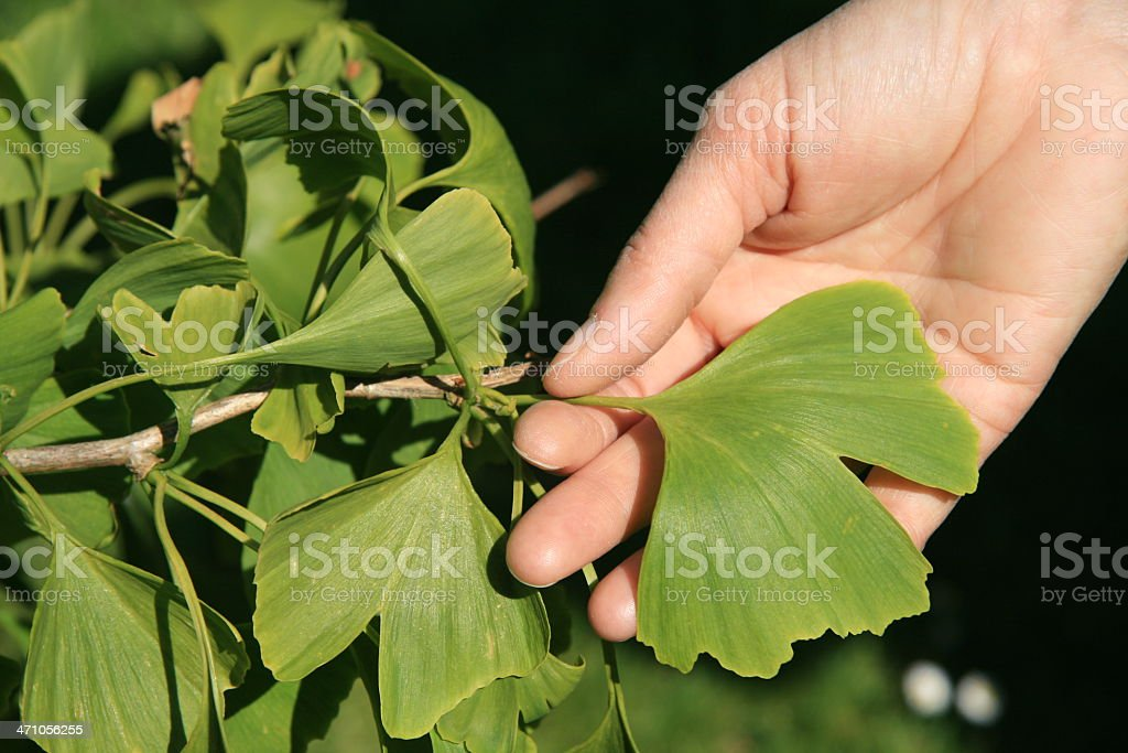 Holding a Ginkgo leaf royalty-free stock photo