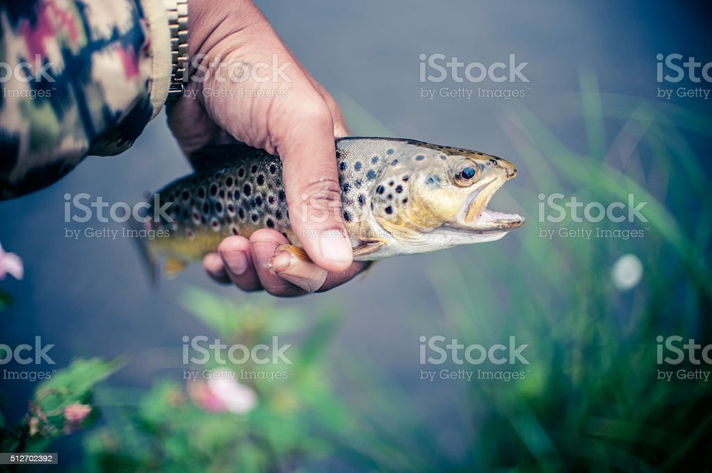 Holding brown trout stock photo
