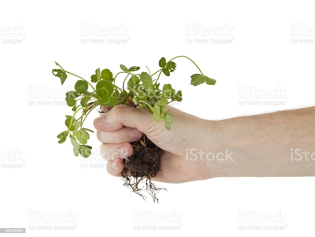 Holding Clover by the Roots royalty-free stock photo