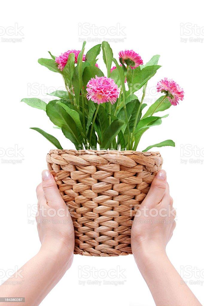 Holding flower pots isolated on white background royalty-free stock photo
