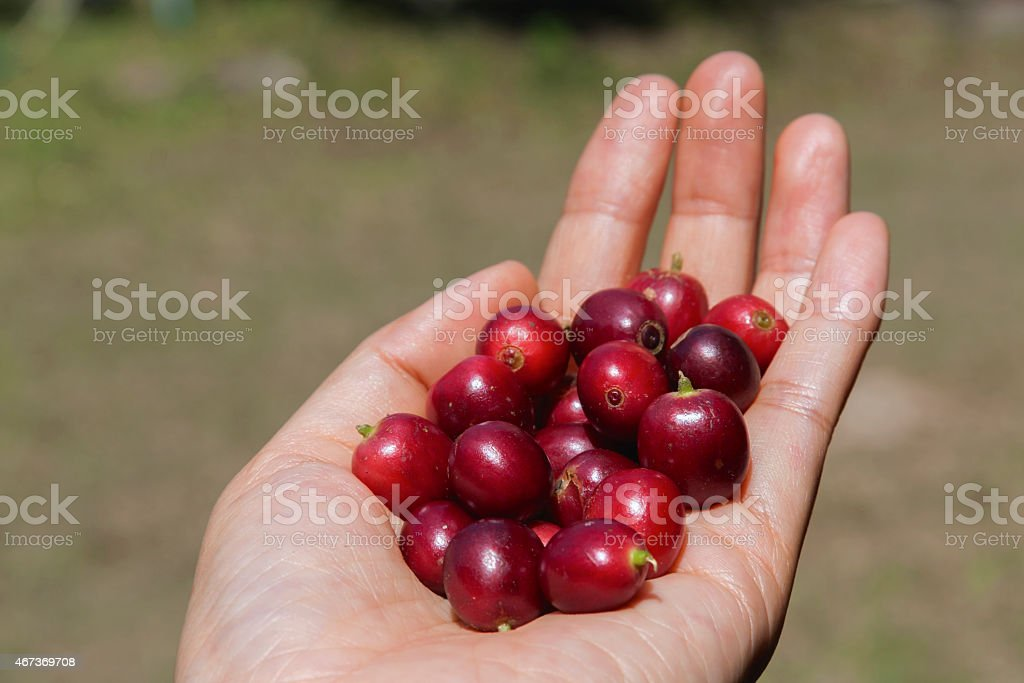 Holding Fresh red coffee beans royalty-free stock photo