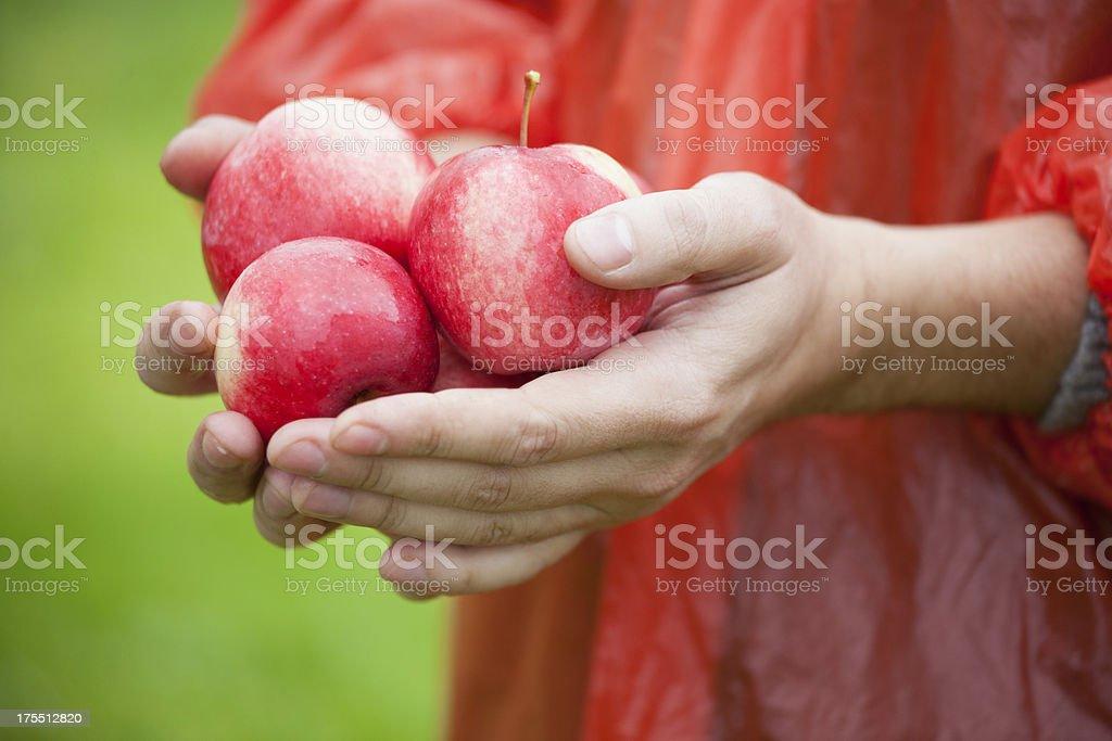 Holding fresh ripe apples royalty-free stock photo