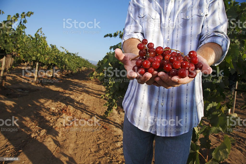 holding grapes in a vineyard royalty-free stock photo