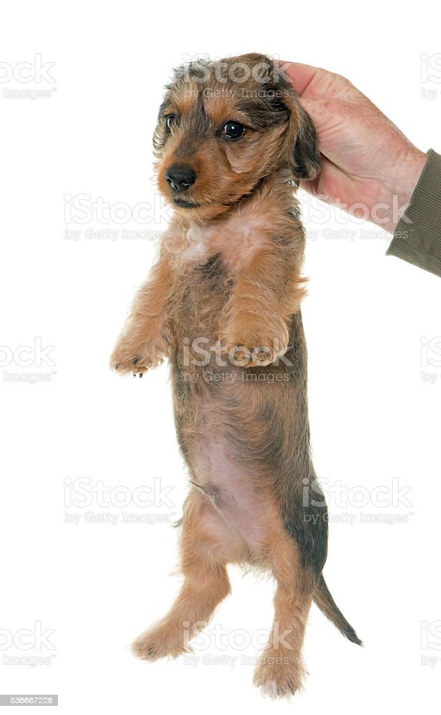 holding puppy Wire haired dachshund stock photo
