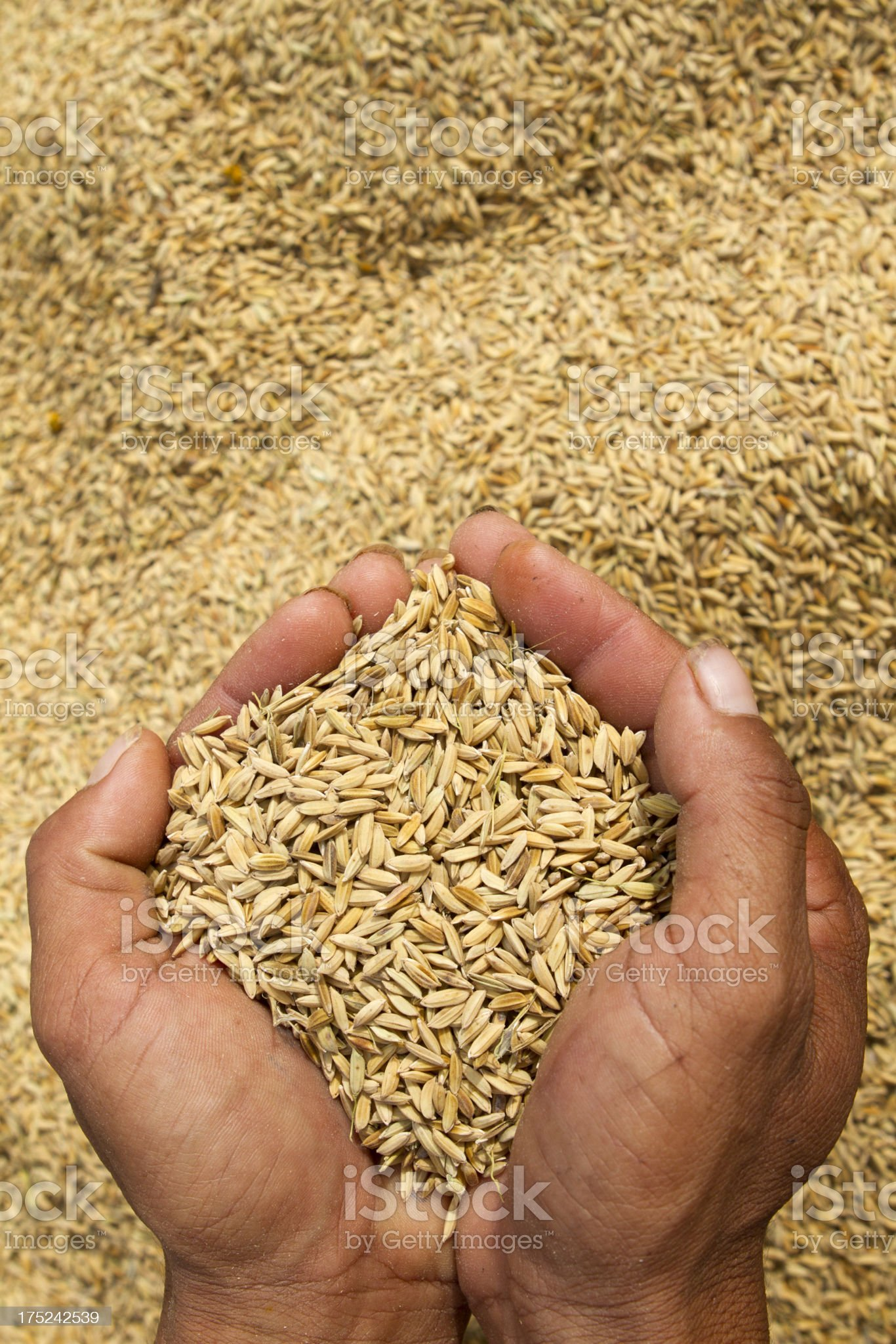Holding rice crop in hands royalty-free stock photo