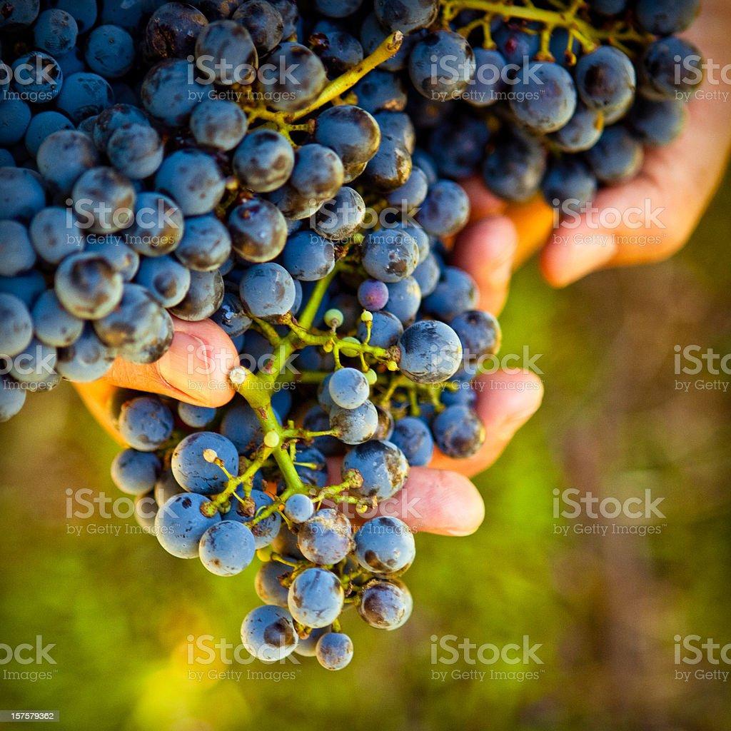 holding ripe grapes stock photo