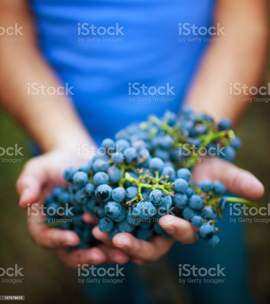holding ripe grapes stock photo