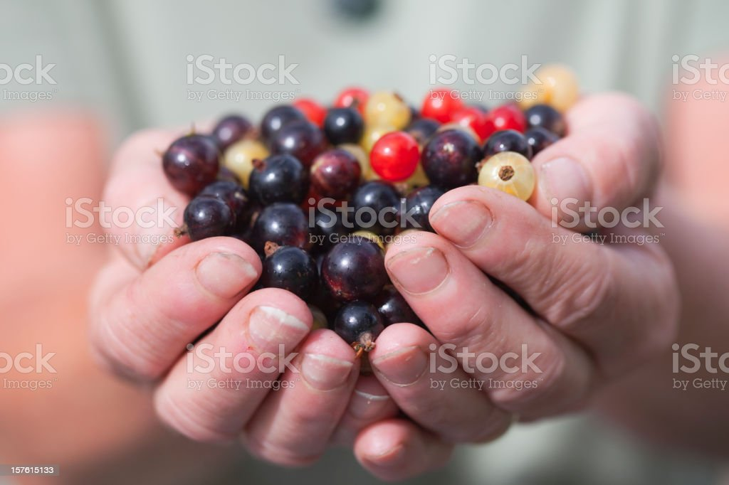 Holding The Currant Harvest royalty-free stock photo