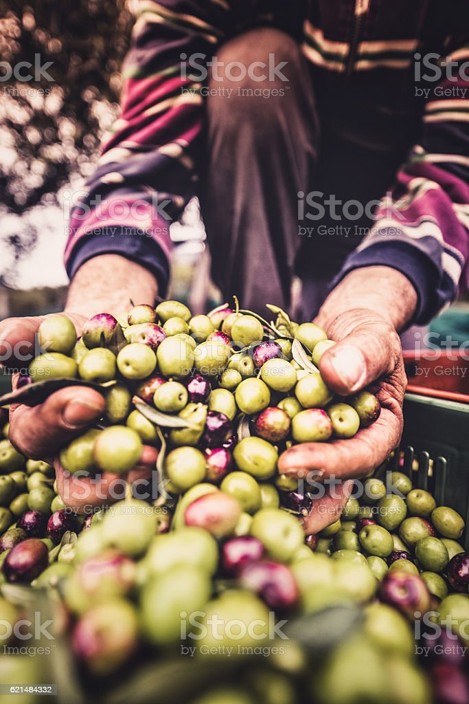 holding the olive fruit stock photo